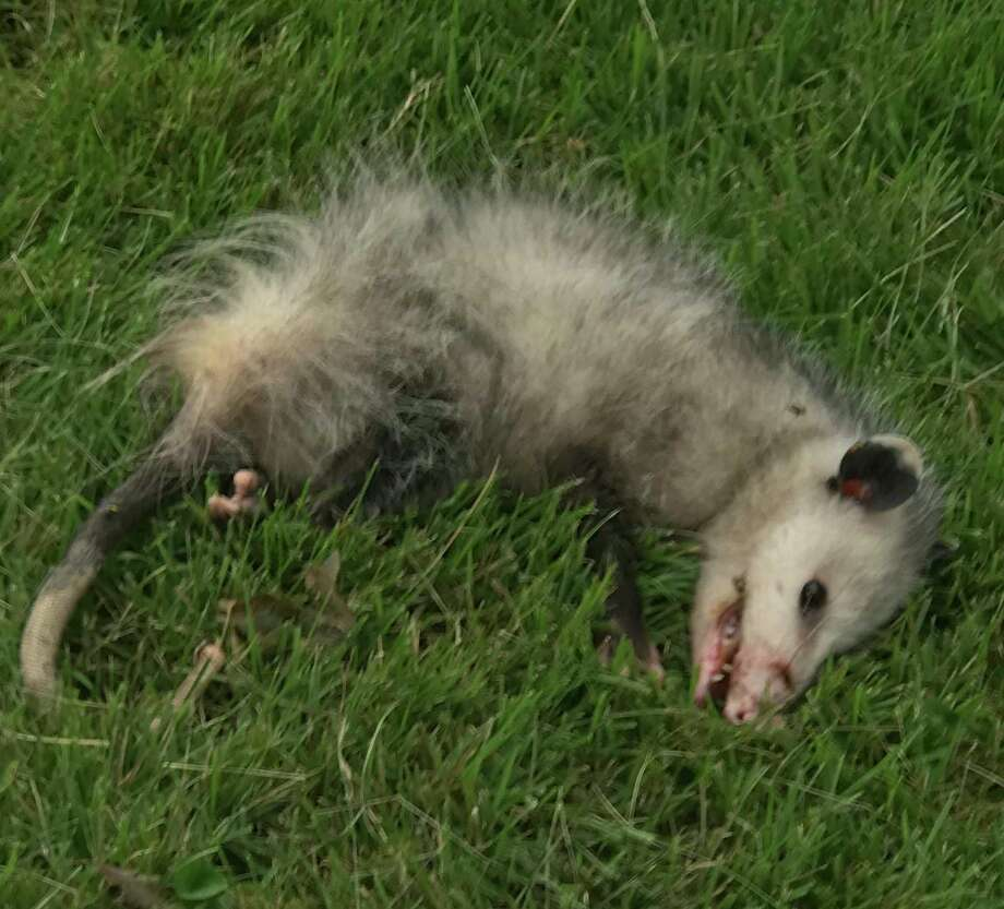 Renewed calls for leg trap ban after opossum suffers severe