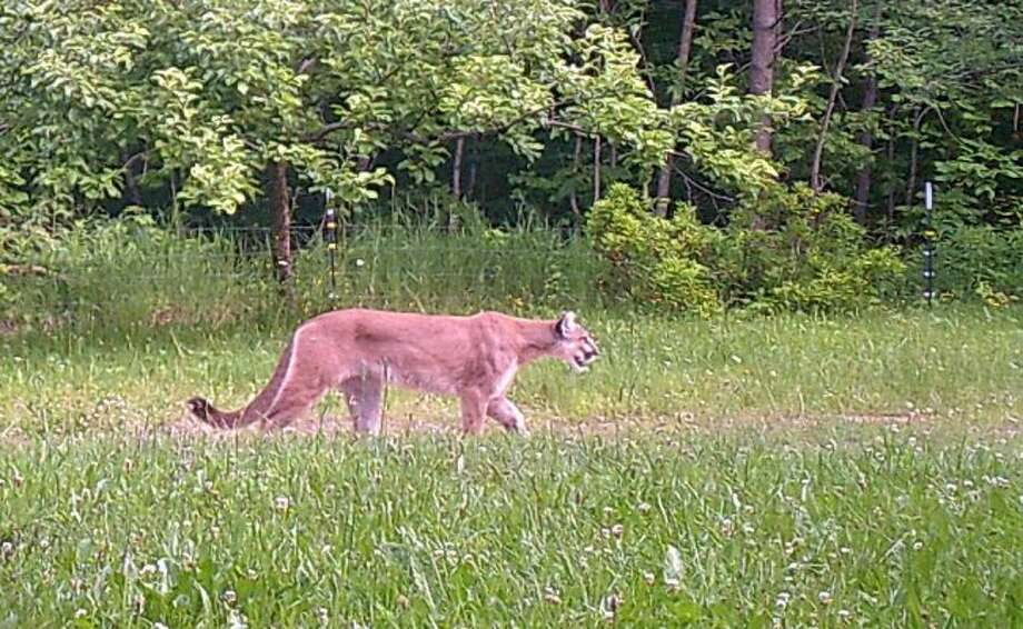 A cougar image is shown from a landowner's game camera, northwest of Ironwood in Gogebic County. (Courtesy Photo)