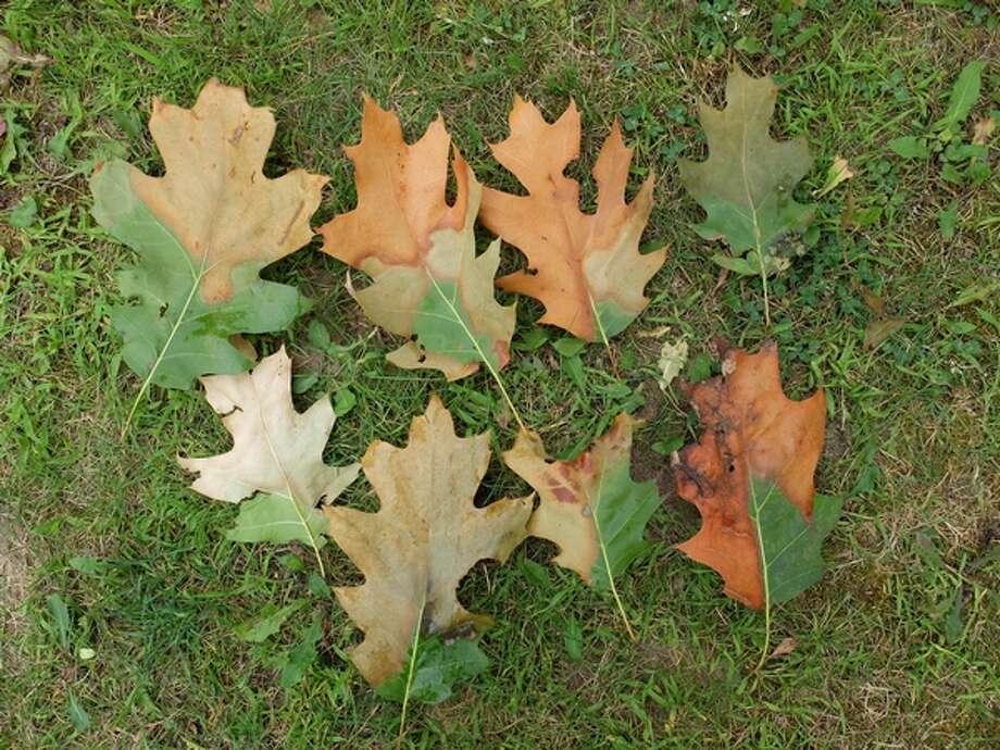 Oak leaves showing oak wilt symptoms. (Courtesy photo/Monique Sakalidis/MSU)
