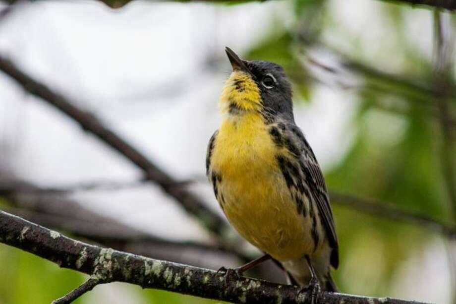 A male Kirtland's warbler warbles. (Courtesy photo/Sawyer Frederick)