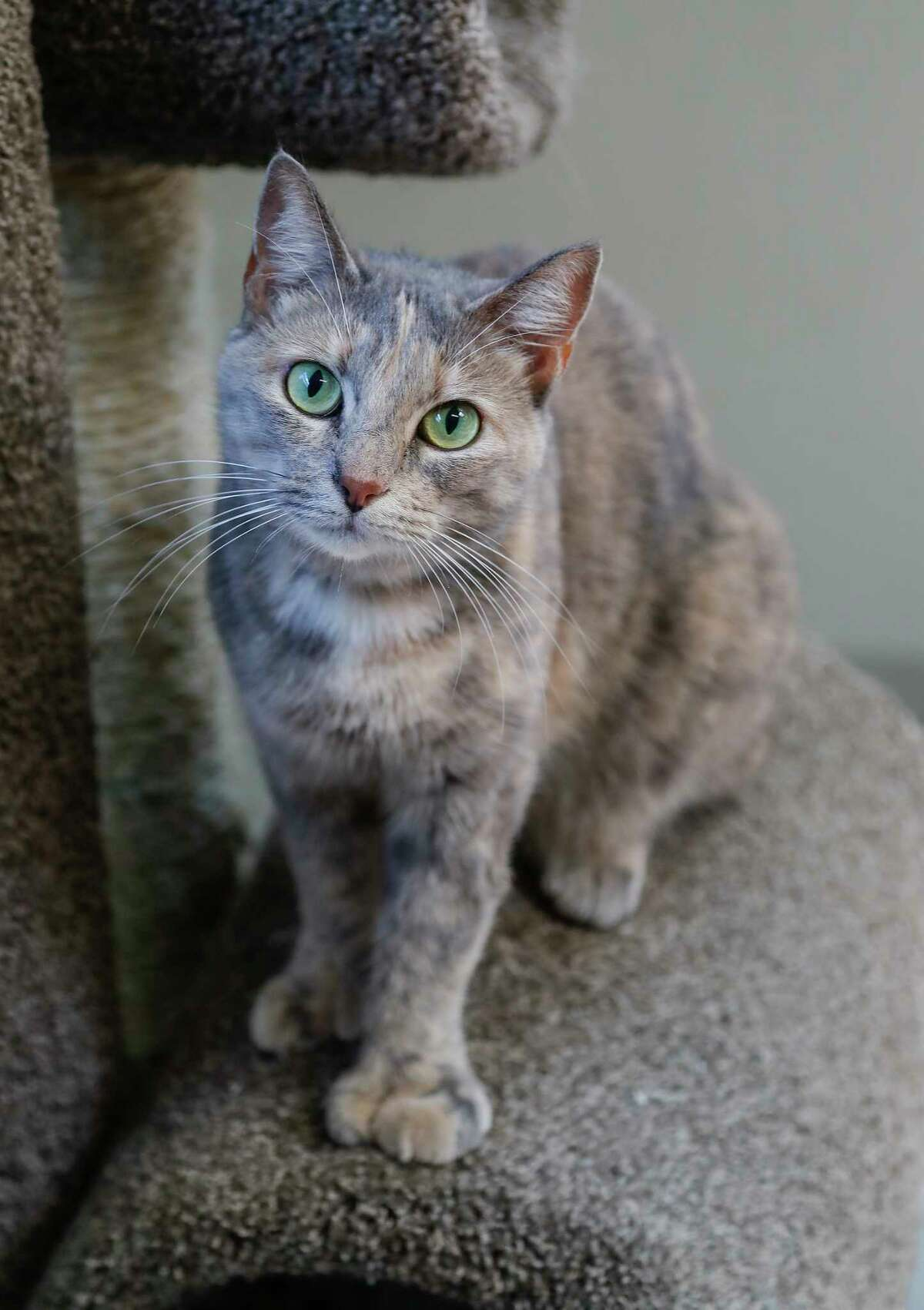 Lisa (ID: A1548721), is a 2-year-old, female tortie cat is available for adoption from BARC Animal Shelter. Photographed September 3, 2019, in Houston. Lisa was surrendered by her owner after moving in with a roommate who was allergic to cats. Lisa is a polydactyl cat, which means she was born with more toes than a normal cat.