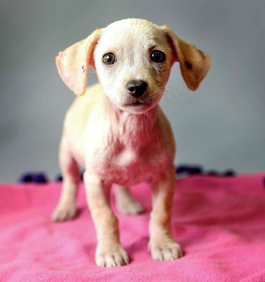 Eenie (ID: A1650183), is a 3-month-old, male, tan Beagle mix is available for adoption from BARC Animal Shelter. Photographed September 3, 2019, in Houston.