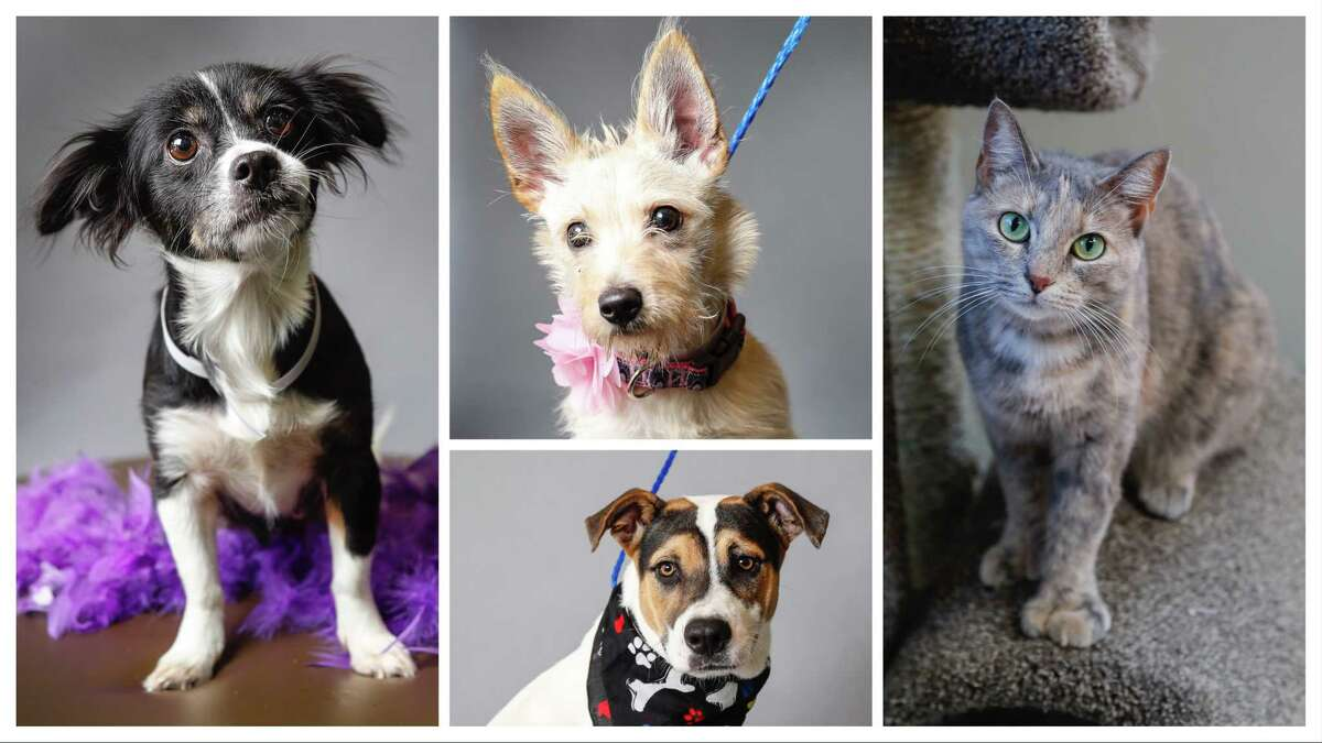 Mariah (ID: A1650627); Pinky (ID: A1650530); Scout (ID: A1649142); and Lisa (ID: A1548721) are available for adoption from BARC Animal Shelter. Photographed September 3, 2019, in Houston.