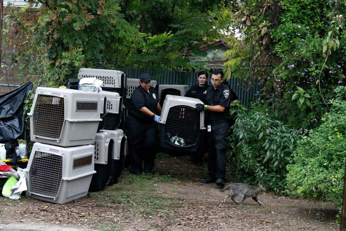 Animal care service workers begin to load animals while a stray cat found the area a good place to roam. According to a spokesman at Animal Care Services, one of the largest hoarding cases ever seen has resulted in the confiscation of over 100 individual animals ranging from dogs and cats to peacocks and turtles. Location of the raid is 255 Pendleton Avenue in San Antonio. Photos taken on Friday, December 11, 2015.