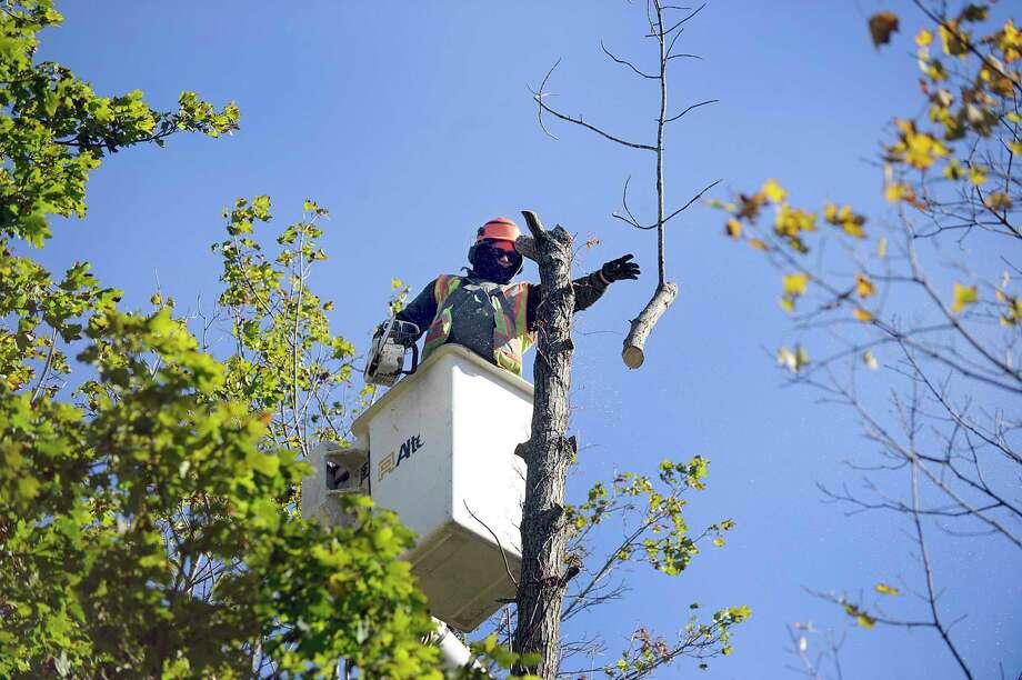 Gill Vieira of Danbury, an employee of Knapp Tree Service, takes down an ash tree near Huntington State park in Redding. Photo: Carol Kaliff / Hearst Connecticut Media / The News-Times