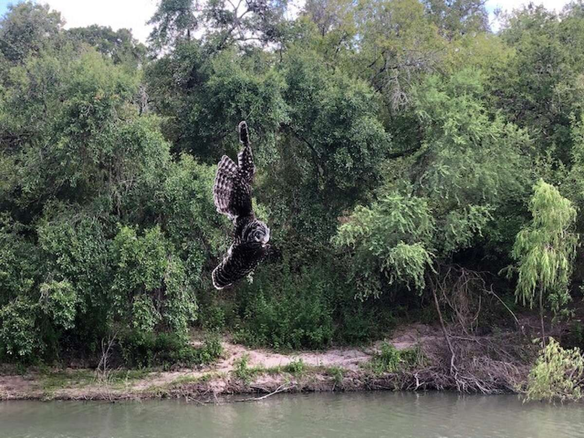 A barred owl was recently rescued by Texas Rangers after getting tangled up in a fishing line that was wrapped around an oak tree by the Nueces River during Labor Day Weekend.