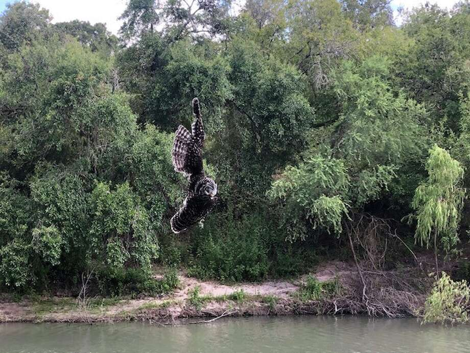 A barred owl was recently rescued by Texas Rangers after getting tangled up in a fishing line that was wrapped around an oak tree by the Nueces River during Labor Day Weekend. Photo: Texas Parks And Wildlife