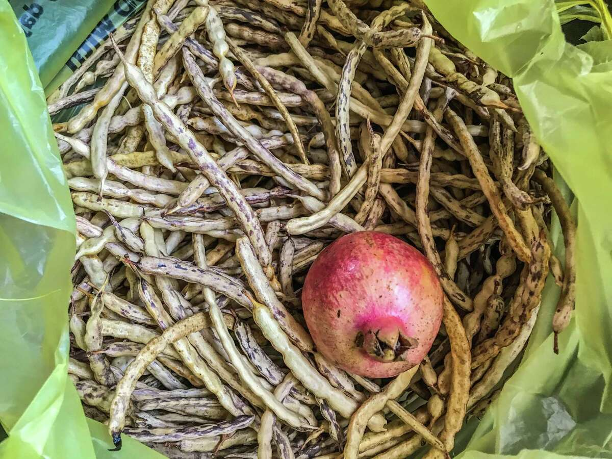 Harvest mesquite pods from your own property or a place where you have permission to be. Foraging is illegal in Texas without property owner permission.