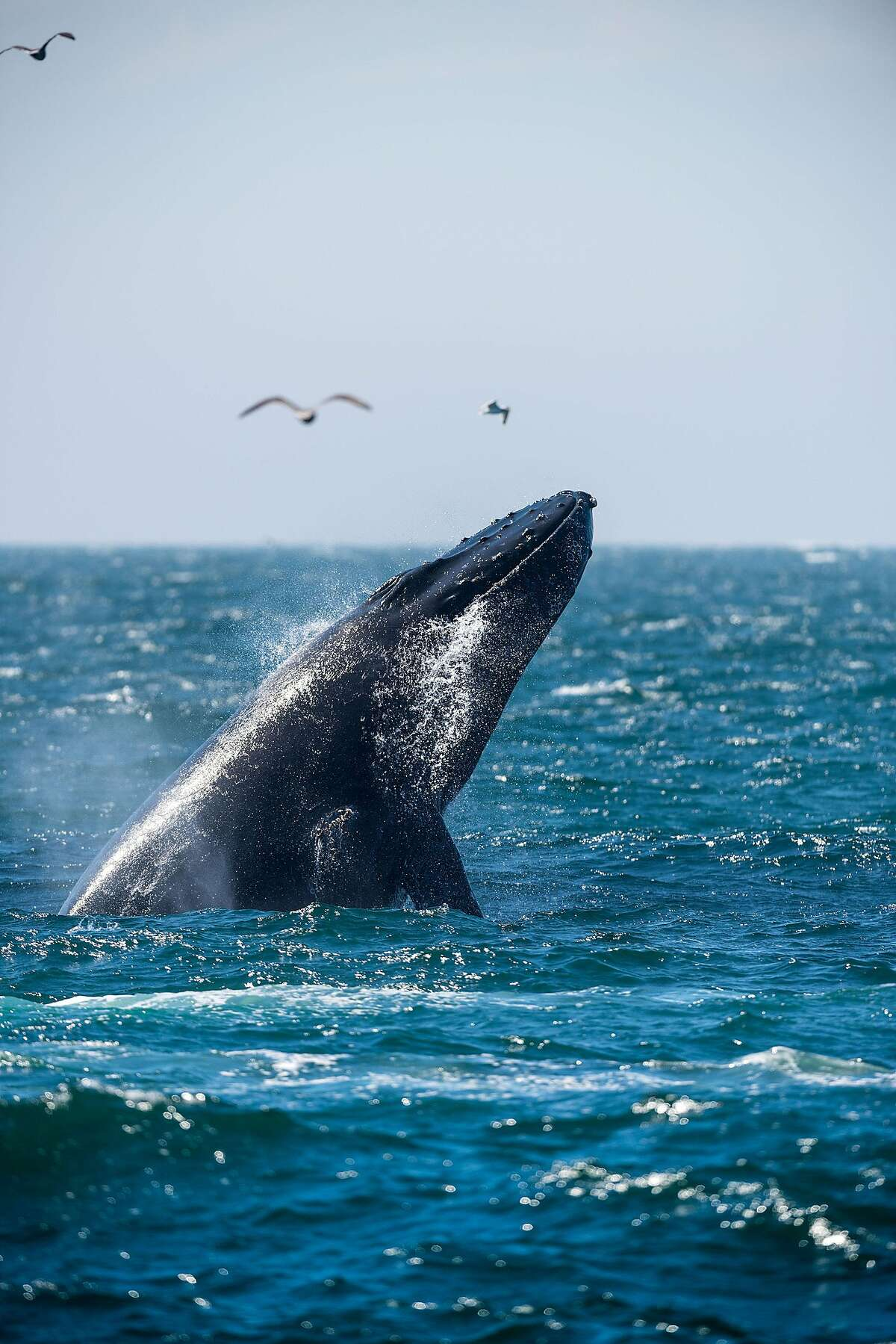 FILE - A humpback whale breaching in Monterey Bay, Calif. on Aug. 27, 2015. As more humpback whales drift into the San Francisco Bay during feeding season, they face the threat of recreational boaters colliding into them.