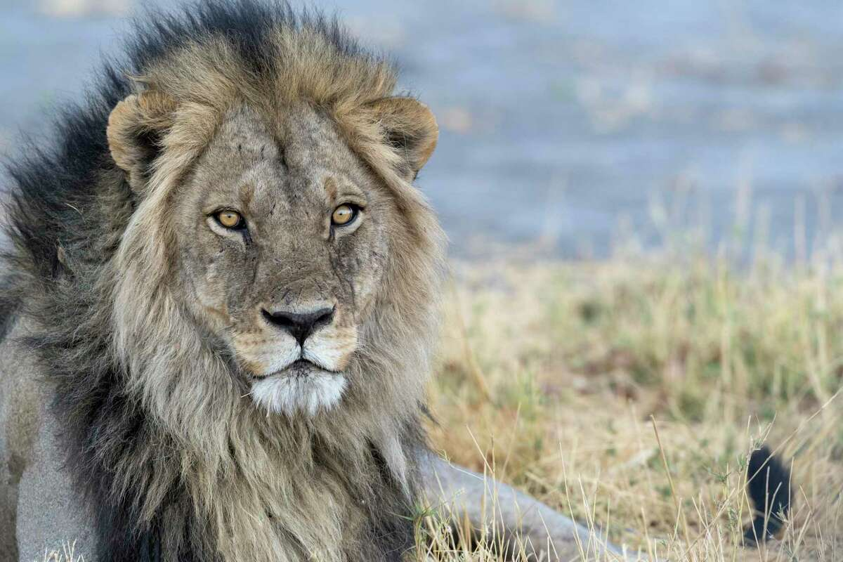 The Houston Safari Club has formed a political action committee to try and influence politicians to make it easier for big game trophy hunters. Currently, it can take up to a year to get a U.S. permit to hunt a lion in Africa.