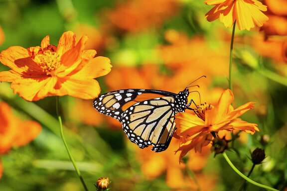 Millions of monarch butterflies are headed to Mexico and most will be flying through Texas. Photo Credit: Kathy Adams Clark. Restricted use.