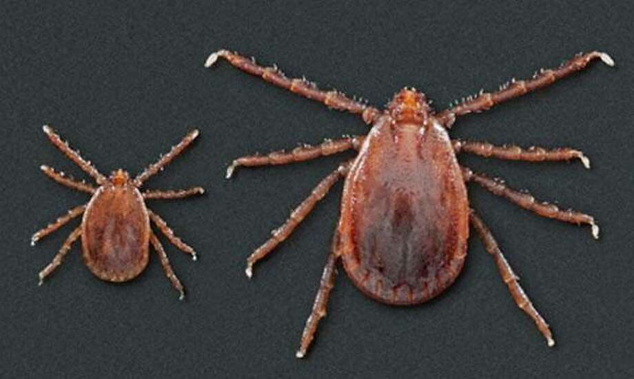 Juvenile and adult Asian long-horned ticks — Centers for Disease Control & Prevention photo Photo: Contributed Photo / Wilton Bulletin Contributed