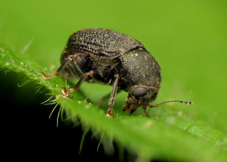 File photo of a weevil. Photo: Katja Schulz // Flickr