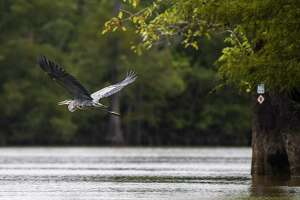 A heron flies low over the water on the Cooks Lake to Scatterman paddling trail on the Neches River Tuesday afternoon. Photo taken on Tuesday, 08/27/19. Ryan Welch/The Enterprise