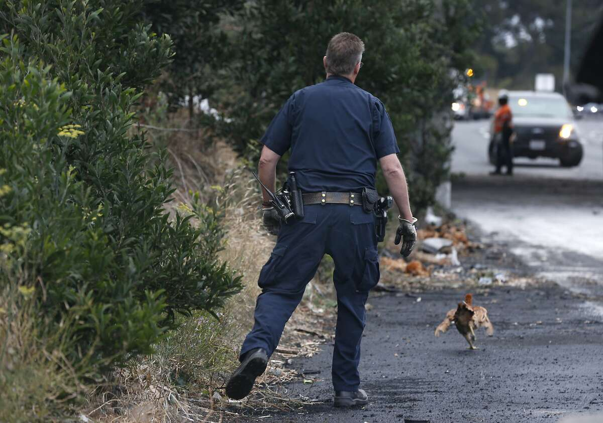 A live chicken flees from a Highway Patrol officer attempting to capture it after a big rig hauling poultry overturned in a traffic collision closing all lanes of westbound Interstate 80 for several hours at San Pablo Dam Road in San Pablo, Calif. on Thursday, Sept. 5, 2019. A few hundred chickens survived and a few hundred perished.