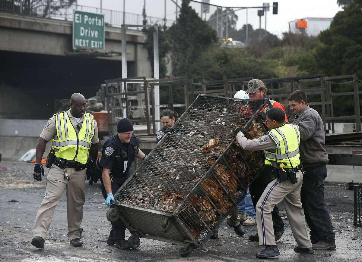 Highway Patrol officers and other rescue personnel turn cages of chickens upright after a big rig hauling the live birds overturned in a traffic collision closing all lanes of westbound Interstate 80 for several hours at San Pablo Dam Road in San Pablo, Calif. on Thursday, Sept. 5, 2019. A few hundred chickens survived and a few hundred perished.