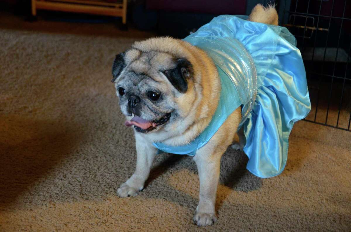 Bella, a 9-year-old pug, wore a blue dress for her interview with the Milford Mirror this week. Her owner, BreAnna Morin, said Bella doesn't usually get quite so dressed up.