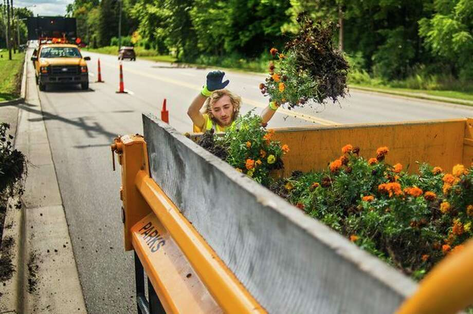 Travis Rickett, a seasonal worker with the City of Midland, tosses a handful of marigolds into a truck while working as part of a crew to remove the flowers from the side of Eastman Avenue Thursday afternoon. (Katy Kildee/kkildee@mdn.net)