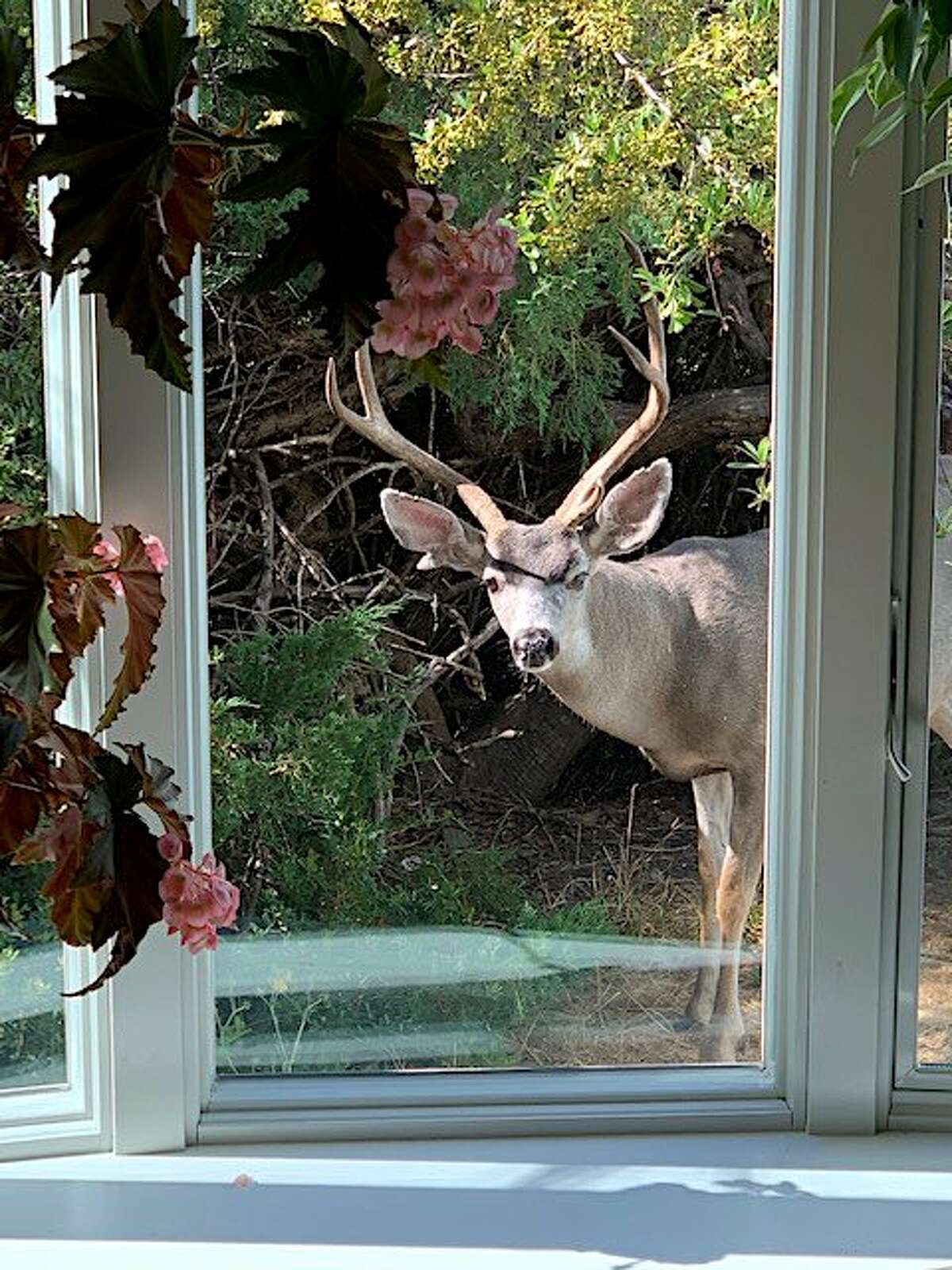 In Walnut Creek, Bob Moench heard a noise and saw a black-tailed deer, a nice buck, looking through a glass door into his living room