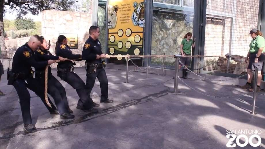 San Antonio police officers face off against a pair of lions in a game of tug-of-war at the San Antonio Zoo. Photo: Screen Grab San Antonio Zoo