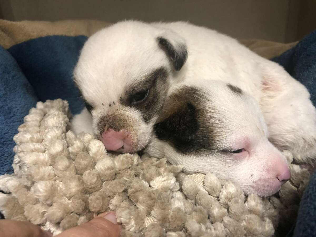 The shelter is not an ideal environment for puppies like these as they require constant around-the-clock care such as bottle feeding every two hours, according to spokesperson Kerry McKeel. McKeel said the shelter does not have the resources to care for puppies this young and because they are too young to be vaccinated, they are at increased risk for disease.