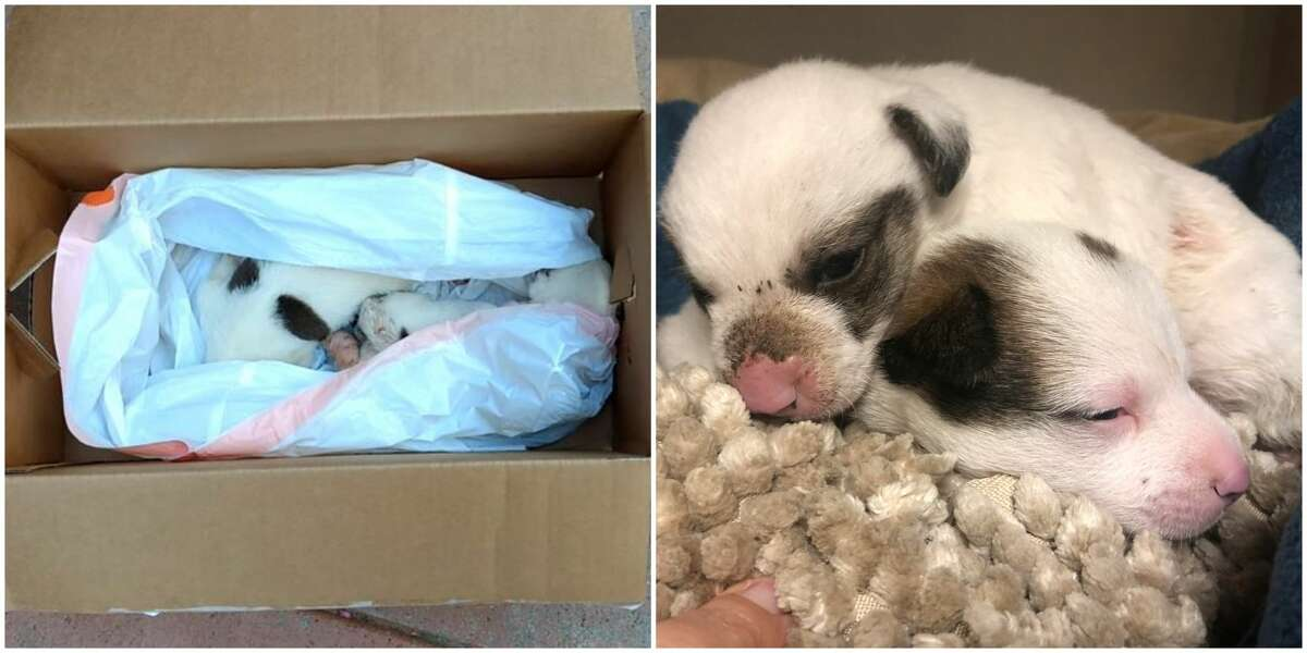 Two 3-week old lab mix puppies were found in a plastic trash bag outside of the Harris County Animal Shelter in the Houston heat Thursday.