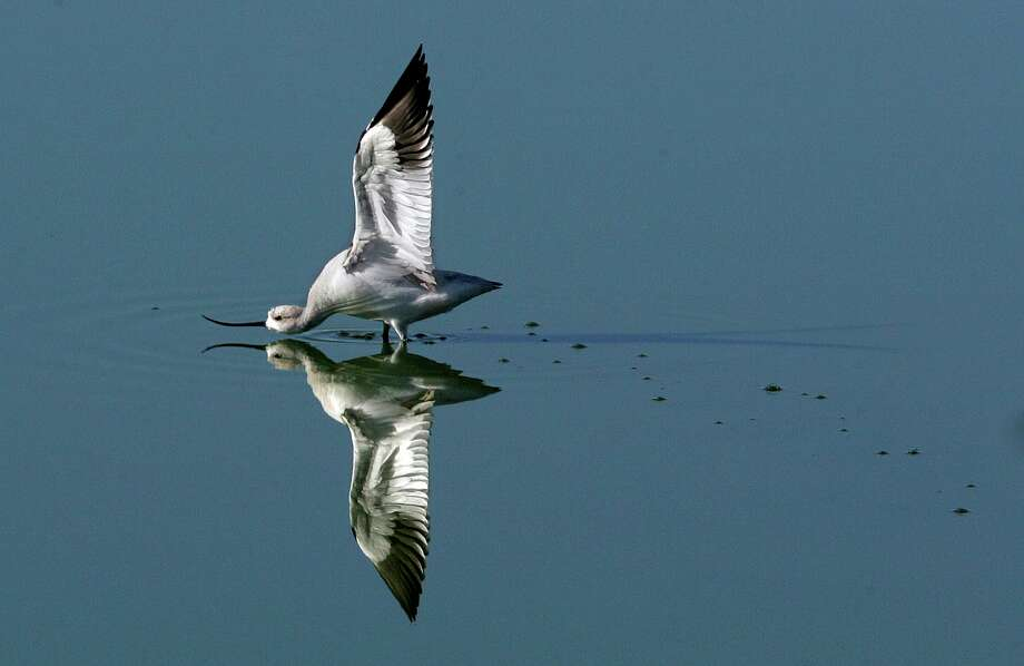 An American avocet stretches its wings while feeding in a pond in 2005. The birds nest west of the Mississippi, but recently three were seen in Milford. Photo: Mike Kane / San Antonio Express-News / SAN ANTONIO EXPRESS-NEWS