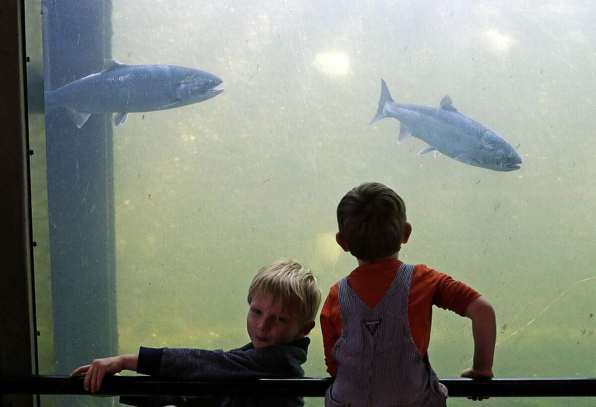 In this Sept. 14, 2017, file photo, brothers Judah, left, and Harrison Ellis watch salmon swim past viewing windows at a fish ladder where salt water transitions to fresh at the Ballard Locks in Seattle. Federal scientists say they're monitoring a new ocean heat wave off the West Coast. Researchers with the National Oceanic and Atmospheric Administration said Thursday, Sept. 5, 2019, the expanse of unusually warm water stretches from Alaska to California, and it resembles a similar heatwave that disrupted marine life five years ago. It remains to be seen whether this heat wave will linger or dissipate more quickly than the last one. (AP Photo/Elaine Thompson, File)