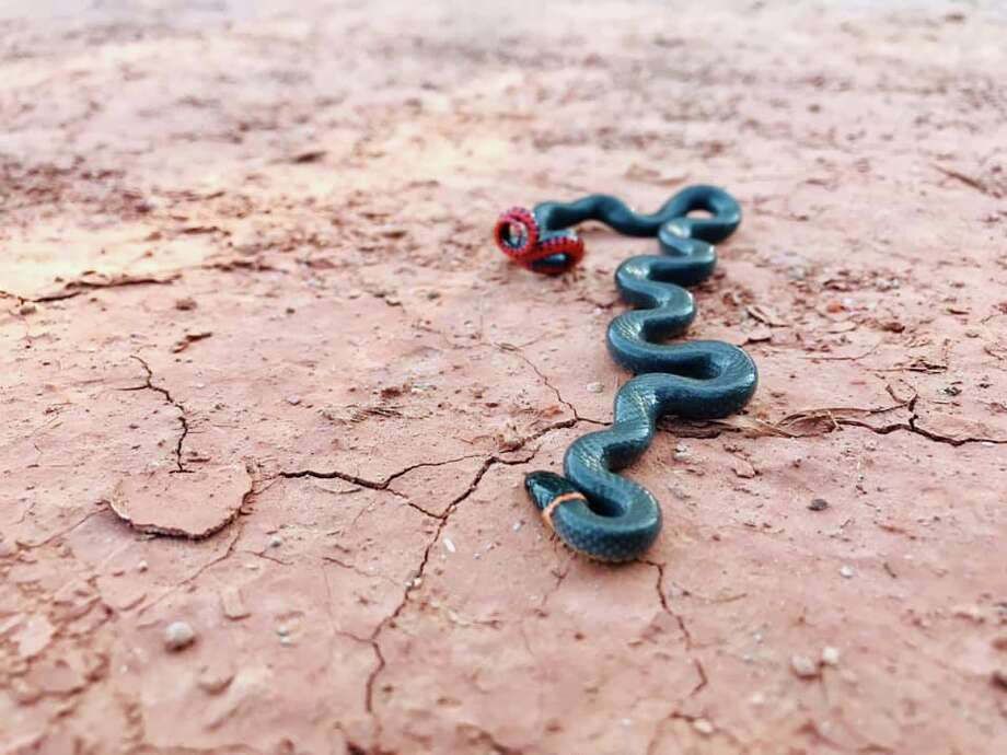 North Texas park officials recently shared photos of a prairie ring-necked snake that is known to flip on its brightly-colored side when it feels threatened. Photo: Edwin Quintero - Copper Breaks State Park