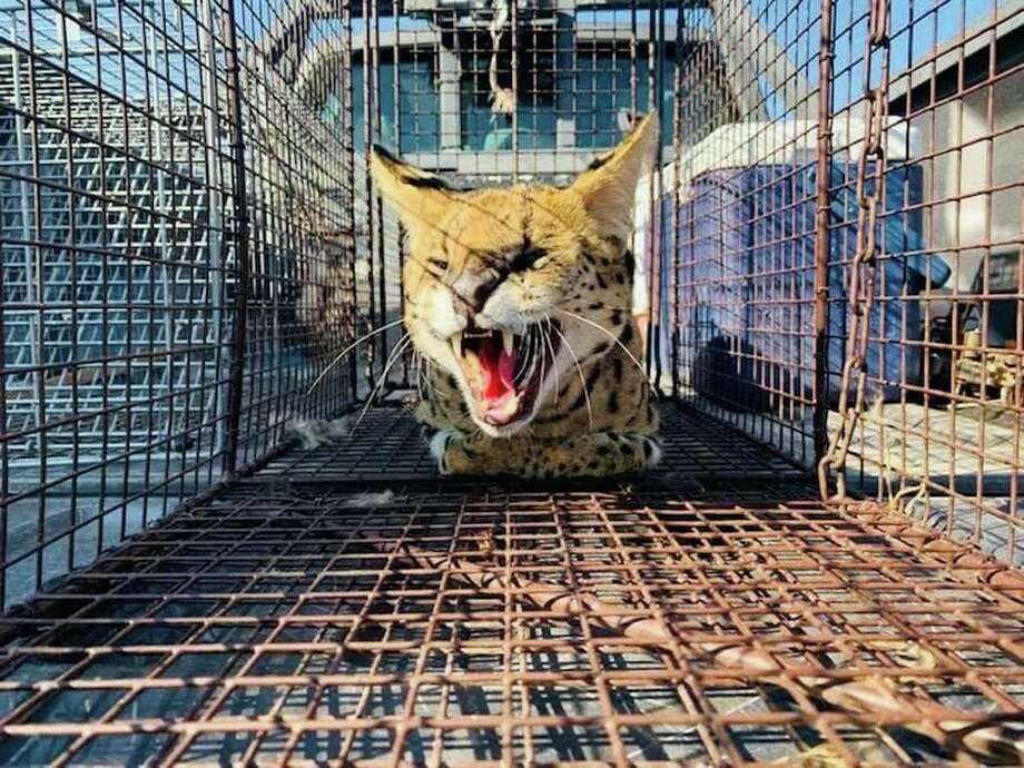 The Serval was spotted around a state park in the mountains above Santa Fe and later captured with chicken dinner as bait. Photo: NM Game And Fish