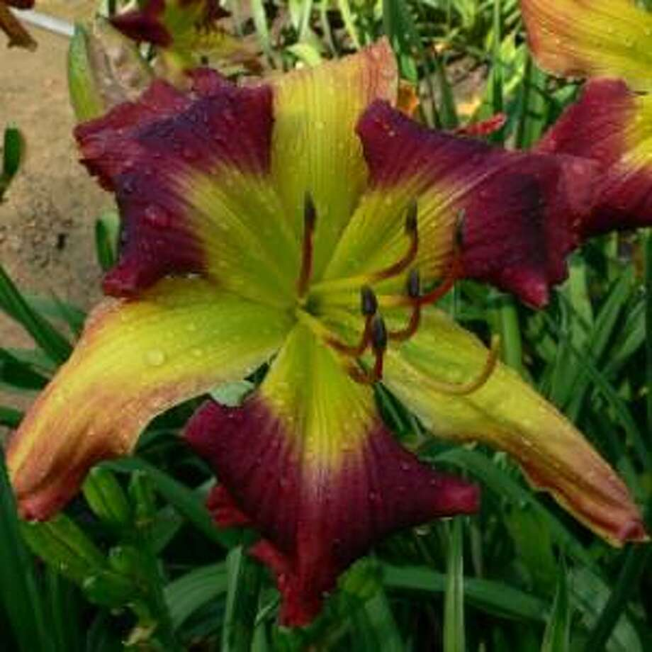 The Connecticut Daylily Society welcomes Eric Simpson of Blue Ridge Daylilies, Western North Carolina's largest selection of premium quality daylilies on Sept. 28. Photo: Contributed Photo