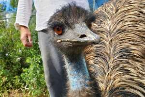 An emu at the Berkshire Bird Sanctuary in Grafton, N.Y. (Chris Churchill / Times Union)