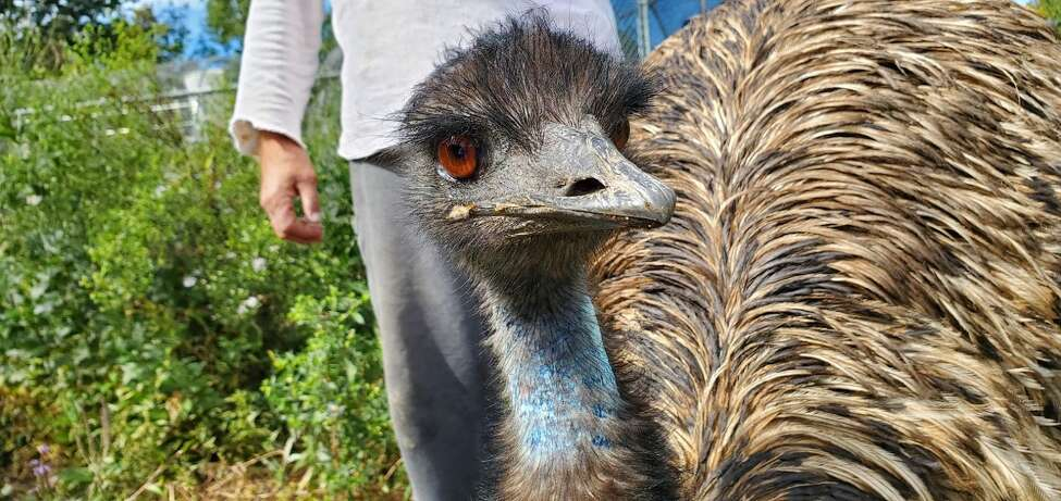 An emu at the Berkshire Bird Paradise in Grafton, N.Y. (Chris Churchill / Times Union)
