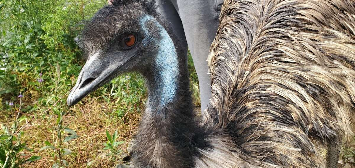 An emu at the Berkshire Bird Paradise, a sanctuary in Grafton, N.Y. (Chris Churchill / Times Union)