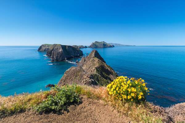 A yellow Giant Coreopsis blooms on Anacapa Island during spring. Anacapa Island is one of the five islands that form the Channel Islands National Park, near Los Angeles.