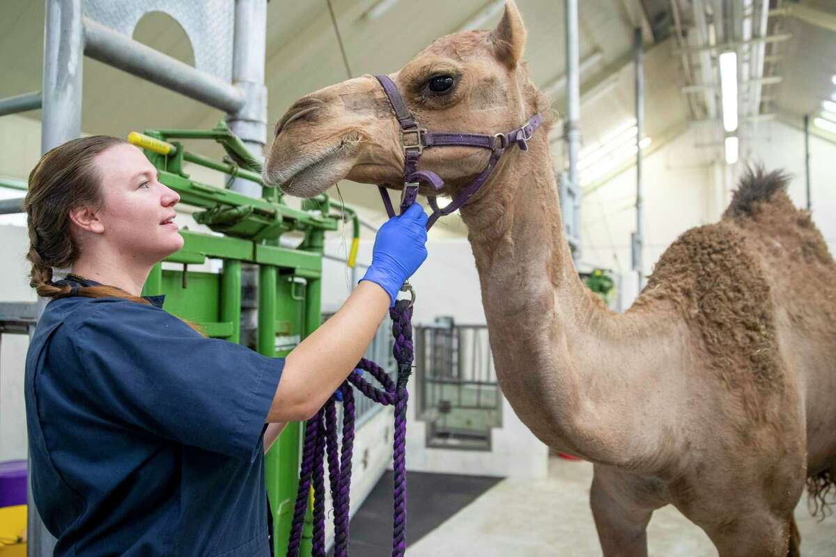 A hip joint dislocated from the pelvis can be a death sentence for animals as large as a camel. Sybil, a 7-year-old camel that lives on a farm in Jasper, has been given a second chance at life by a team of veterinary professionals and students with Texas A&M's College of Veterinary Medicine & Biomedical Sciences.