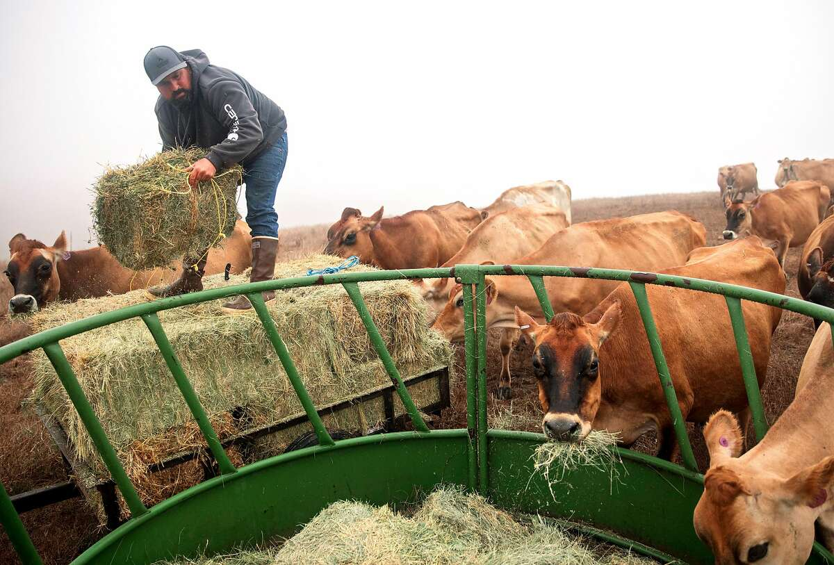 Louis Silva unloads hay into feeding troughs for dairy cows at Silva Family Dairy in Tomales, Calif. Saturday, September 7, 2019.