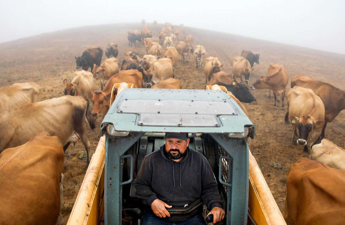 Louis Silva is followed by a herd of dairy cows as he hauls a bale of hay to the feeding pasture at Silva Family Dairy in Tomales, Calif. Saturday, September 7, 2019.