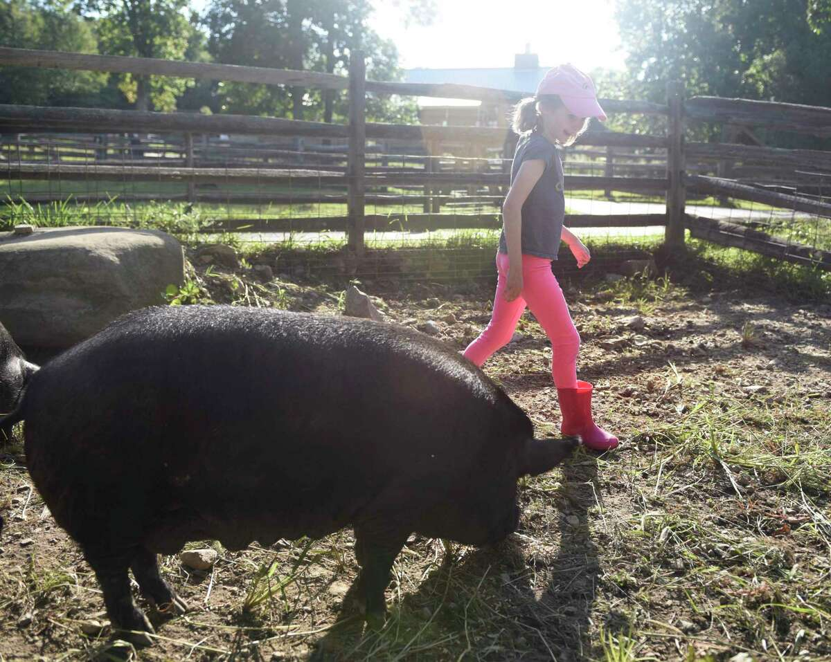 New Canaan's Elizabeth Carlon, 9, say hello to a guinea hog during the Meet the Pigs event at the Stamford Museum & Nature Center in Stamford, Conn. Sunday, Sept. 8, 2019. Attendees learned about guinea pigs and guinea hogs and then got a chance to feed the excited hogs their dinner out in the pen.