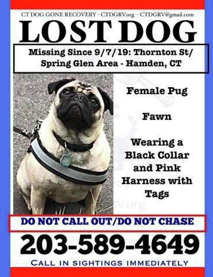 Authorities, including the North Haven police department, are looking for a pug that went missing Sept. 7, 2019 in the Thornton Street/Spring Glen area of Hamden. Photo: North Haven Police Department / Contributed
