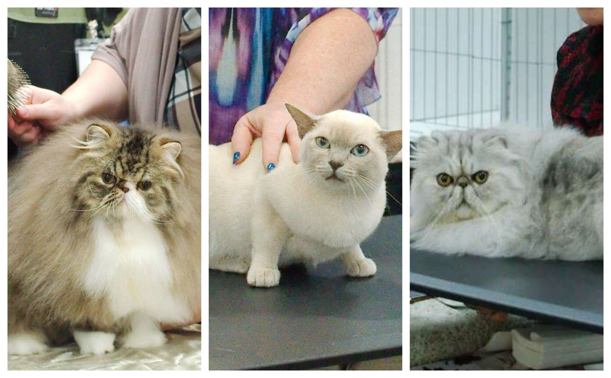 Photos: These adorable cats don't know why they're at the Deer Park cat show