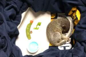 """""""Officer Nibbles"""" was found by Glastonbury police, abandoned but apparently unhurt."""