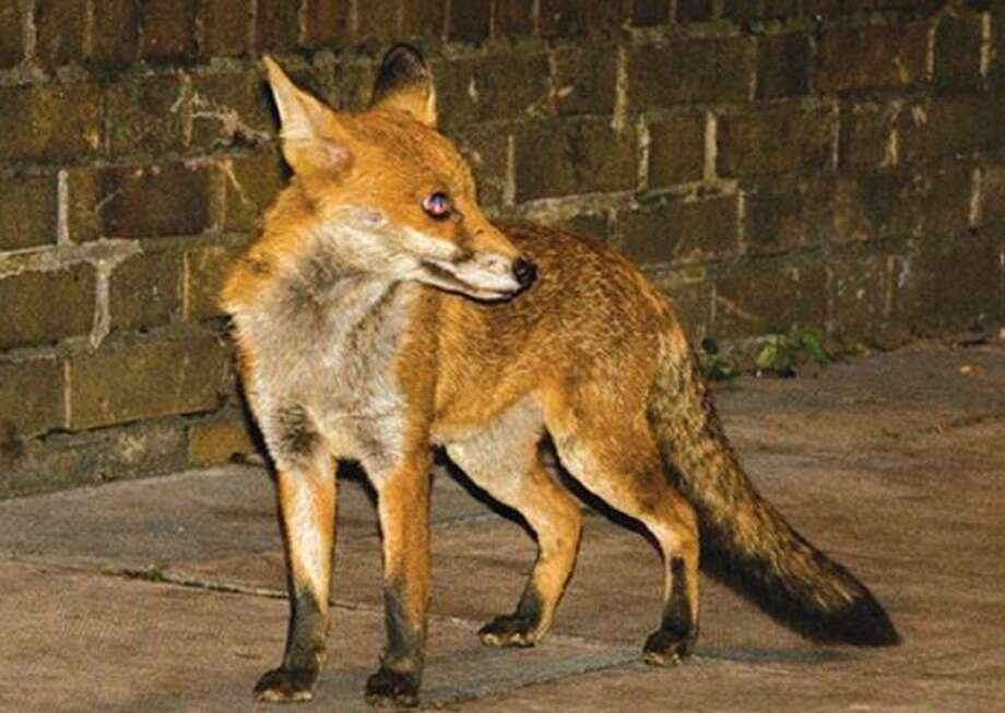 An attack by a fox in East Lyme has prompted a warning from a local health department. The Ledge Light Health District issued the warning after people were attacked by a fox on Heritage Road on Monday morning on Sept. 9, 2019. Photo: Shay, Jim