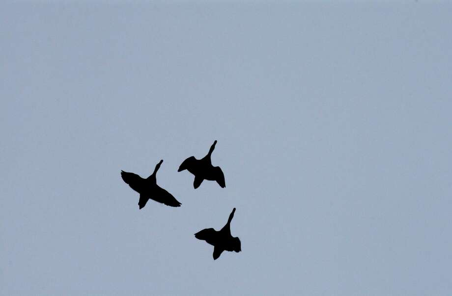 Fall migration of birds flying north to south will find a winter resting place in the warmer climate of Texas. Some birds will travel thousands of miles for better access to food, water and a nesting place. Photo: GLORIA FERNIZ, STAFF / SAN ANTONIO EXPRESS-NEWS / SAN ANTONIO EXPRESS-NEWS