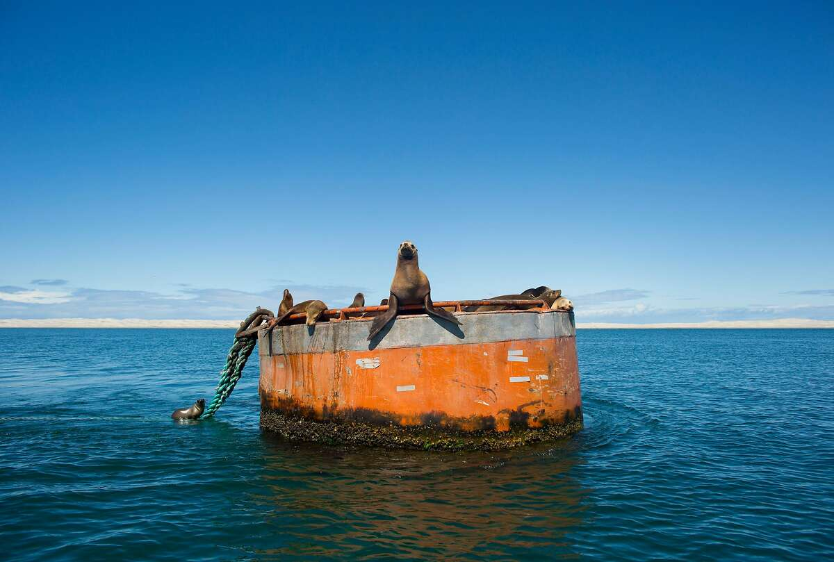 In this March 3, 2015 photo, a group of California sea lions rest on a large bouy in the San Ignacio lagoon, in the Pacific Ocean, near Guerrero Negro, in Mexico's Baja California peninsula. (AP Photo/Dario Lopez-Mills)
