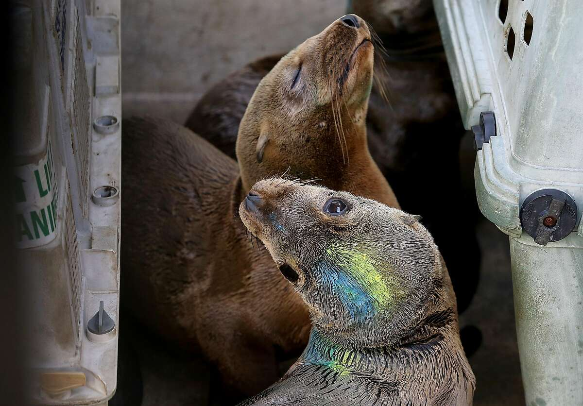 SAUSALITO, CA - FEBRUARY 12: Two sick California sea lion pup sit in an enclosure at the Marine Mammal Center on February 12, 2015 in Sausalito, California. Scientists are struggling to figure out what is causing hundreds of sick and starving California sea lions to wash up on on California shores over the past three winters. Nearly 500 of the extremely emaciated pups have been found since the beginning of the year and are being treated at rehabilitation centers throughout the state. The Marine Mammal center has cared for over 170 of the pups so far this year. (Photo by Justin Sullivan/Getty Images)