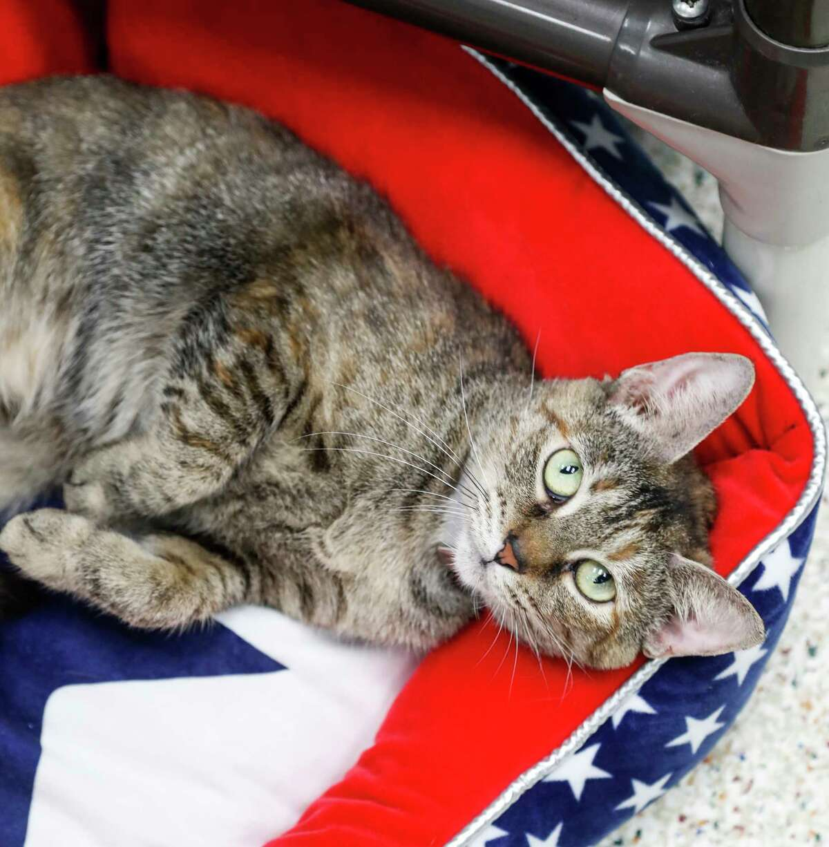 Tigger (ID: 421552242) is a 2-year-old, female, Torbie Domestic Short Hair cat available for adoption from the Houston Humane Society. Photographed, Tuesday, Sept. 10, 2019, in Houston. Tigger is a love bug, who was surrendered by her owner for having