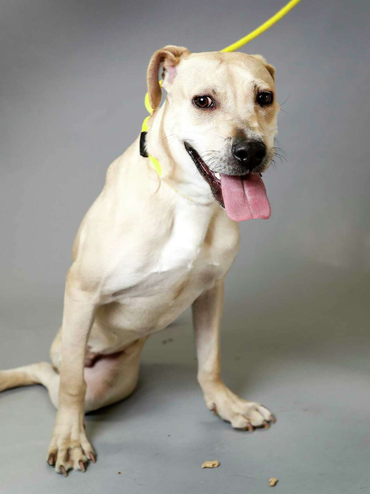 Rocky (ID: 41349485) is a 9-month-old, male, yellow Labrador retriever mix available for adoption from the Houston Humane Society. Photographed, Tuesday, Sept. 10, 2019, in Houston. Rocky was brought into the shelter as a stray in April, with a broken leg, that the vets had to amputate. He was adopted out, but returned because he did not get along with cats. He's a precious boy, who runs, jumps and plays without needing that back leg. His adoption fees have been waived, as he has a sponsor.