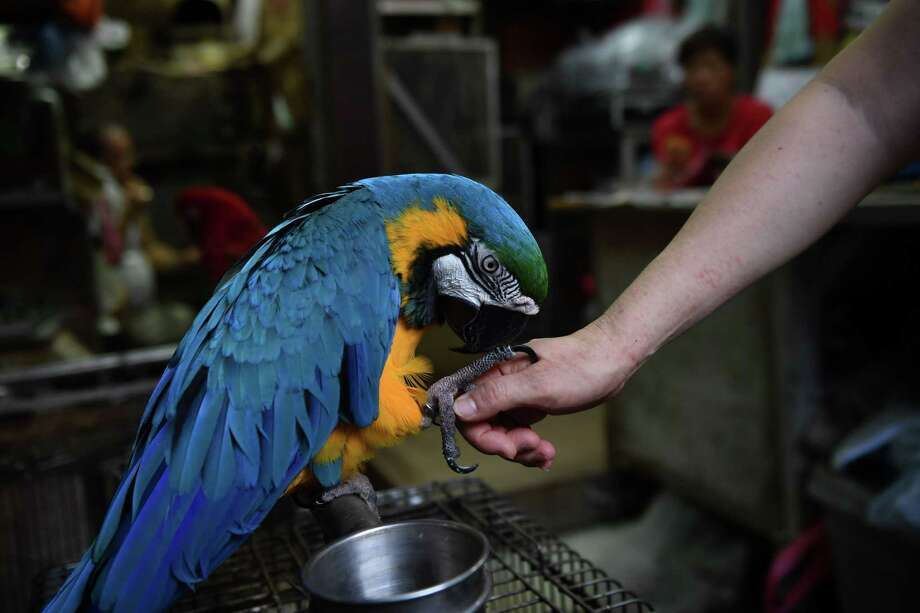 A Blue and Gold Macaw, not unlike this one, was found in a tree top in Fairfield on Tuesday, Sept. 10. Photo: LILLIAN SUWANRUMPHA / AFP /Getty Images / AFP or licensors