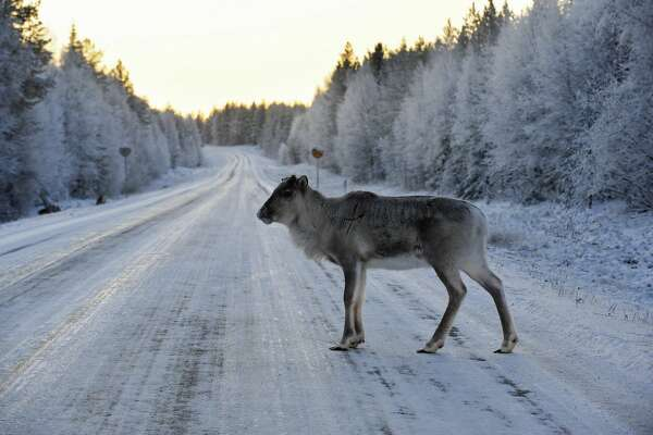 A reindeer crosses a snowy road near Torvinen on November 17, 2008, in Lapland, early in the morning.